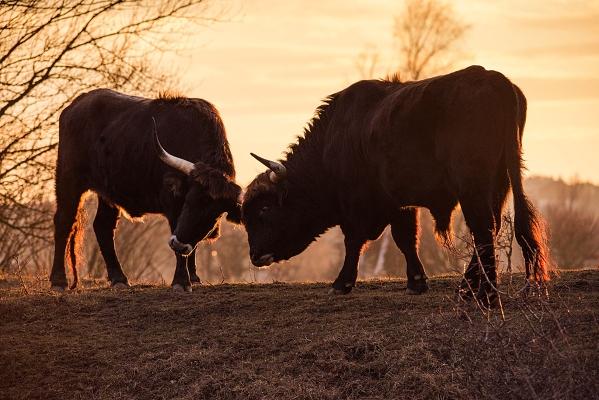 Milovické rezervaci koní, zubrů a praturů hrozí katastrofa. Kvůli zpoždění úředníků zřejmě budou muset utratit třetinu vzácných zvířat