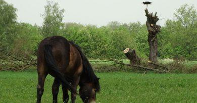 Divocí koně pomohli vzácným rostlinám, ohroženým druhům vodních ptáků i broukům