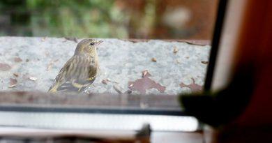 Ptáci ve městech strádají kvůli sázení exotických dřevin v parcích, omezují jejich zdroje potravy