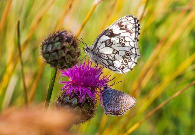 Našli čeští vědci úspěšný recept na vymírání hmyzu a motýlů v celé Evropě?