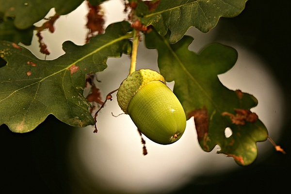 Usychající borovice nahradí duby. Rezervace v Milovicích dostává zpět původní stromy.
