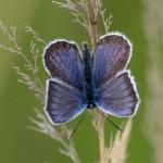 Vědci nevěří vlastním očím. Na malé pastvině u Milovic napočítali 42 procent českých motýlů. Díky divokým koním
