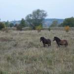 ZAJÍMAVOST: Divocí koně proměnili pastvinu v bylinkovou zahrádku, agresivní traviny  vystřídaly léčivky