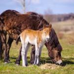 Milovice: V rezervaci divokých koní se narodila první jarní hříbata