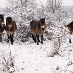Koně v milovické rezervaci jsou skutečně divocí, potvrdil etologický výzkum