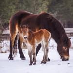 MILOVICE: První letošní hříbata divokých koní přišla na svět na sněhu