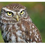 Pták roku 2018: sýčkovi hrozí vyhynutí